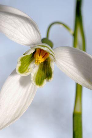Snowdrop Flower photo