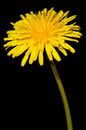 Dandelion flower on a black background photo