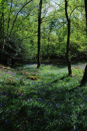 bluebell woods: Veiw of the Bluebell woods in Spring