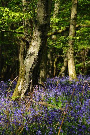 veiw: Veiw of the Bluebell woods in Spring