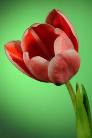 A close up of tulip with a green background photo