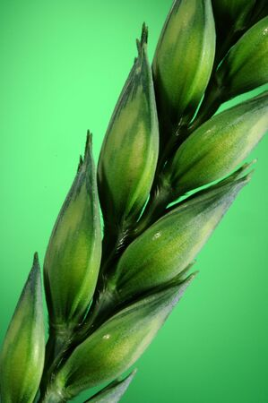 A close up of the seeds on wheat/corn plant Stock Photo - 4986356