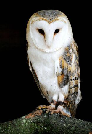 night owl: A portrait of a Barn Owl on it perch.