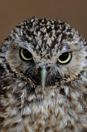 A portrait of a little Owl Stock Photo