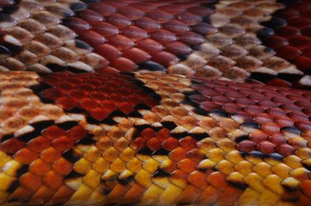 Close up of the scales on the skin of a Cornsnake