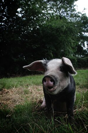 A Pig sitting in a field photo