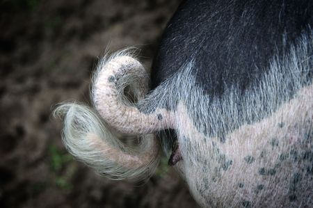 A Pigs Curly Tail photo
