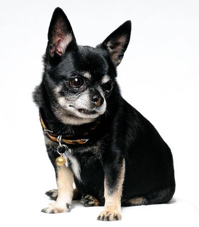 faithfulness: A Chihuahua sitting with a white background