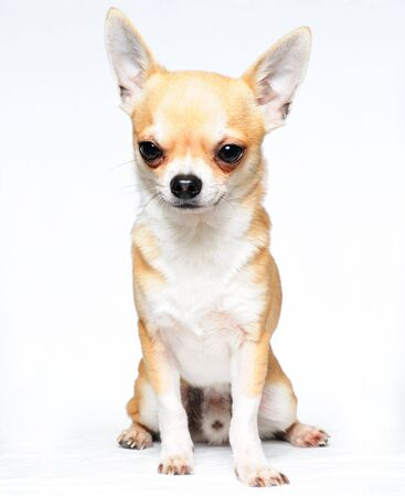 A Chihuahua sitting with a white background