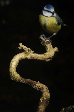 A Blue Tit sittng on an on dead branch of a bush Stock Photo - 8847745