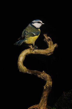 A Blue Tit sittng on an on dead branch of a bush Stock Photo - 8847752