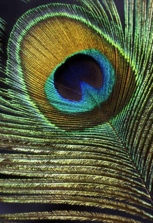 A Peacock Tail Feather. photo