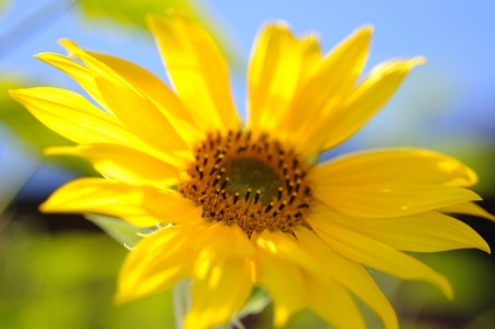 A Macro Photograph of a Sunflower Stock Photo - 15570500