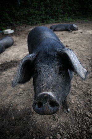 Pig on a farm Stock Photo - 16293760