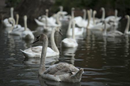 Swans on a lake