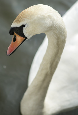Swan head that is swimming on a lake photo
