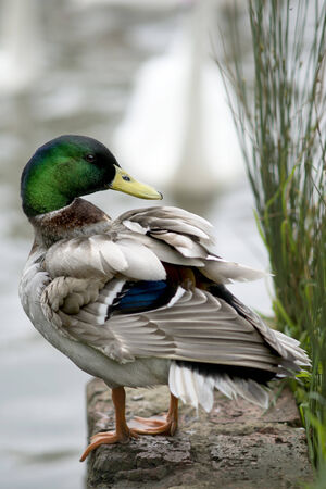 Male Mallard Duck Standing on the Edge of a Lake photo