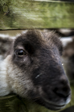 A Portrait of a Sheep Head, Focus on the Eye. Stock Photo