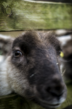 A Portrait of a Sheep Head, Focus on the Eye. photo