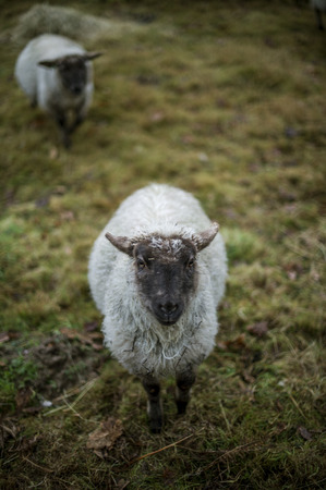 A Portrait of two Sheep in a field Head, Focus on the Sheep in the Front. photo