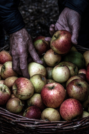 Picking up apples from a basket Stock Photo