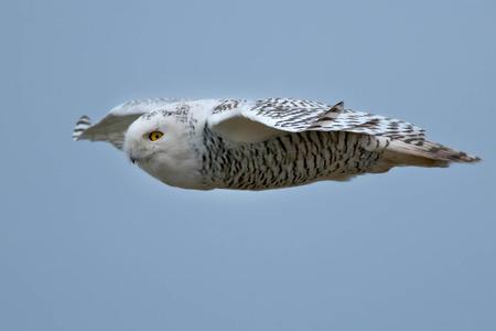 street wise: Snowy Owl flying across an open sky.