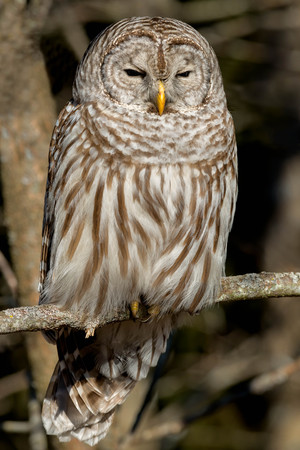 barred: Barred Owl perched on a branch. Stock Photo