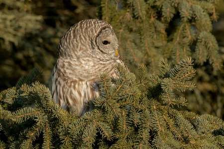 Barred Owl perched in an evergreen tree. Stock Photo