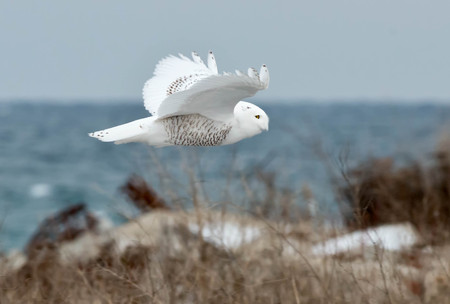 street wise: Snowy Owl flying across the waters edge. Stock Photo