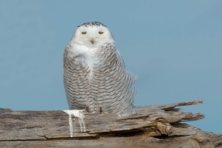 street wise: Snowy Owl sitting on a dead log looking at the camera.