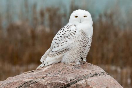 Snowy Owl rusten op een bolder.