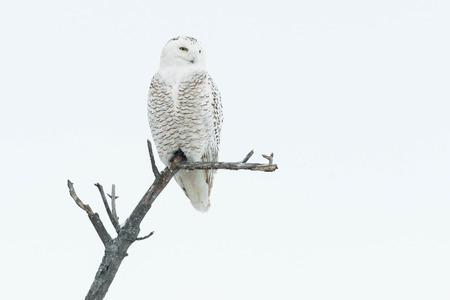 Snowy Owl hoog op de top van een boom.