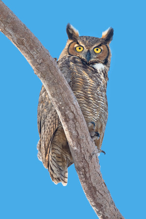 virginianus: Great Horned Owl perched on a branch.