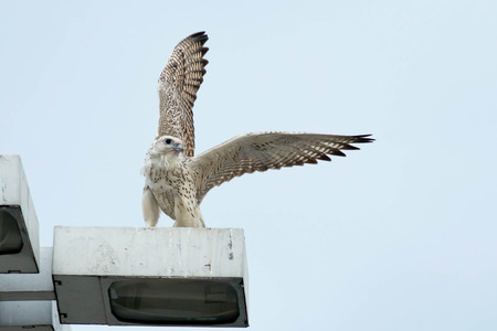 falconidae: White-morphed Gyrfalcon about to take flight from a light standard.