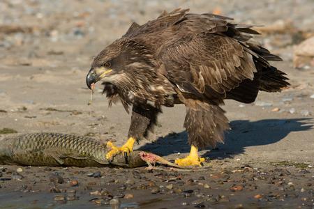 Juvenile Bald Eagle eating a Carp on the beach.