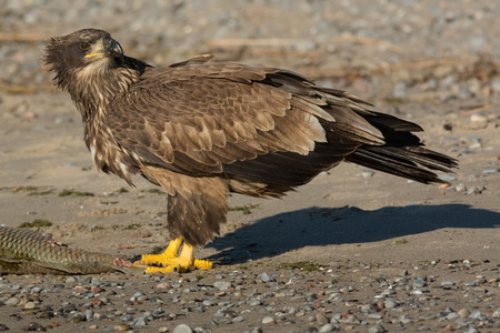haliaeetus: Juvenile Bald Eagle standing guard over a dead Carp that had washed up on the beach.