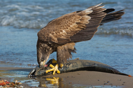 haliaeetus: Juvenile Bald Eagle standing on a dead Coho Salmon guarding his meal.