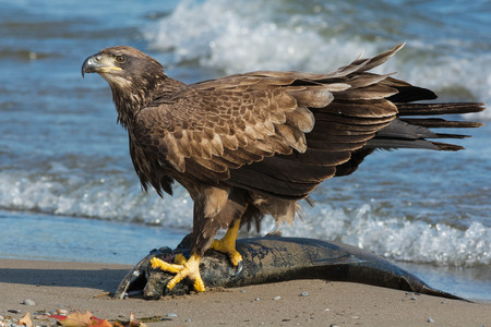 Juvenile Bald Eagle standing on a dead Coho Salmon guarding his meal.