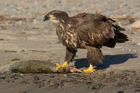washed: Juvenile Bald Eagle standing guard over a dead Carp that had washed up on the beach.