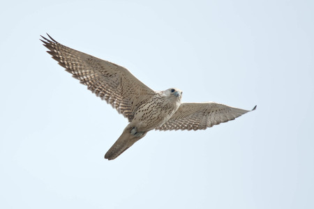 falconidae: White-morphed Gyrfalcon flying across an overcast sky. Stock Photo