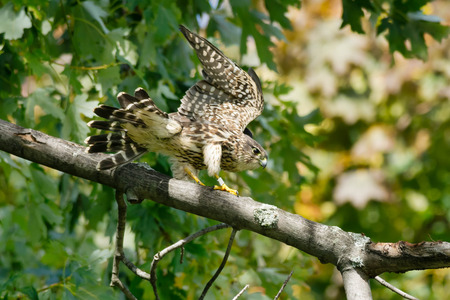 falconidae: Merlin perched on a branch stretching its wings.
