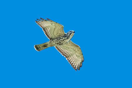 Broad-winged hawk flying across the sky.