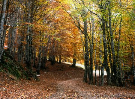 forest path: road with trees in autumn with fall colors