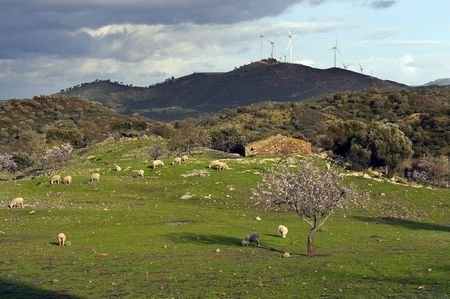 rural image with almond tree, sheep and windmills on the horizon Stock Photo - 6480887