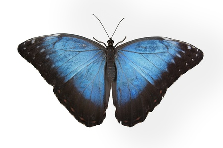 morpho: blue butterfly isolated in white background