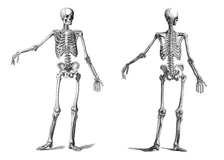 scheletro umano: illustrazione d'epoca di uno scheletro umano nel incisione del XIX secolo