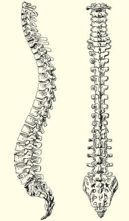 dorsal: Ilustraci�n vectorial blanco y negro de una columna vertebral humana Vectores