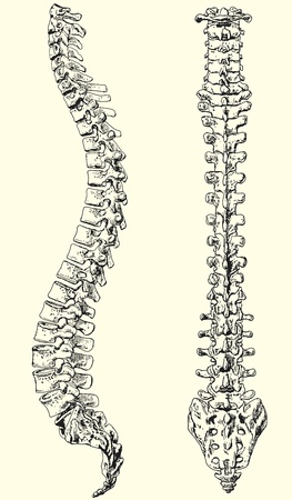 column: Vector illustration black and white of a human spine Illustration