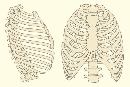 thorax: human rib cage with spine