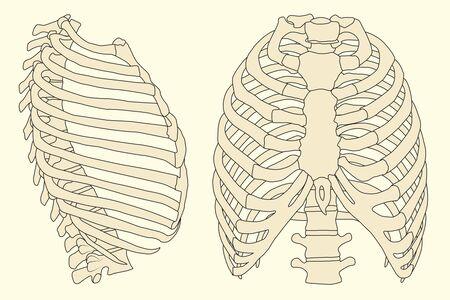 menselijke rib kooi met ruggengraat